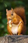 14 Eichhörnchen
