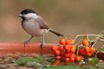 48 Sumpfmeise an der Vogeltränke