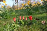 Tulpe                                                                                        Foto: H.-P. Meßler