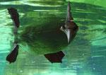 Basstölpel - Zoo am Meer