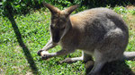 Wallaby près de St-Nectaire