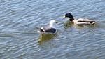 Dialogue entre mouette et canard