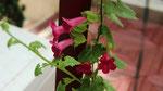 Lothospermum sur la terrasse