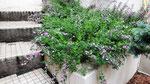 Genêt bleu ou hérisson, cytise hérisson, erinacea anthyllis