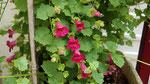 Lothospermum sur la terrasse d'entrée