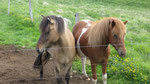 Cheveaux islandais (rien à voir avec des poneys)