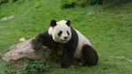 Yuan Zi est le garçon panda du zoo. Vidéo en ligne sur Vimeo.