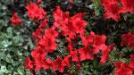 Azalée japonais rouge, azalea mollis satan, rhododendron japonica