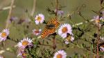 Papillon sur chemin à Laschamp