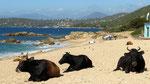 Les vaches étaient à la plage dès qu'on leur avait ouvert la porte !