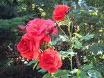 die gerettete Rose