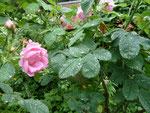 Rose aus dem Elterngarten
