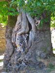 Eine über 800 Jahre alte Edelkastanie.