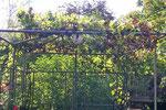 Weintrauben wachsen hier auch