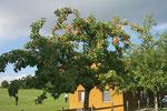 Apfelbaum nahe der Drivingrange