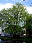 Dorflinde (über 350 Jahre alte Winterlinde)