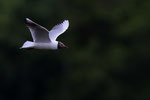 Mouette Rieuse Brenne 2014