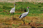 Brolga Cranes