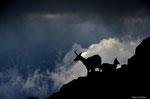 Chèvre (femelle du chamois) et son chevreau