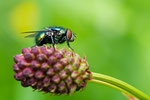 Schmeißfliegen / Calliphoridae