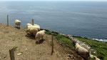 Donnerstag: Am Meer weidende Schafe auf dem Weg nach Dingle.
