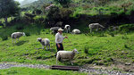 Freitag: Kells Sheep Farm mit 200 Schafen, die in den Kerry Montains grasen.