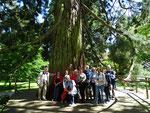 Freitag: Alter Mammutbaum auf der Insel Mainau.