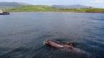 """Donnerstag: Der Delphin """"Funghi"""" ist eine Attraktion in der Dingle Bay."""