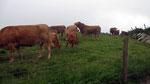 Mittwoch: Weidende Kühe bei den Cliffs of Moher.
