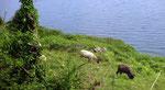 Mittwoch: Schafe in der Burren Region weiden am Meer.