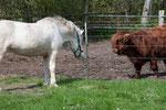 Fortuna lernt Rinder kennen