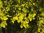 Sonnenbuche
