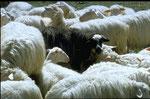 Das schwarze Schaf - überall