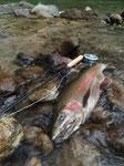 IFFFのキャスティングインストラクターであるMさんの1尾。エサな豊富な川の一等強いニジマスは同じ鼻曲がりのオスでも魚体を見ればわかる。頭が大きく見えないのであります。