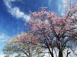 春、庭先のエゾヤマザクラとコブシの花が咲いた。これからがシーズン本番。待ちわびた季節。