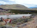 Im Nationalpark Torres del Paine sind die Guanacos viel weniger scheu als sonst