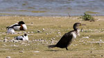 Tadorne de Belon, avocette et grand cormoran femelle