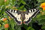 Schwalbenschwanz - Papilio machao