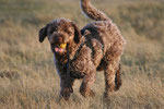 Lagotto fun