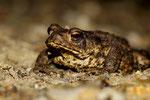 Erdkröte (Foto: Norbert Schwankhaus)