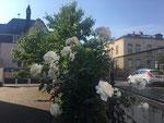 weiße Rosen an der seitlichen Einfahrt/white roses at the driveway