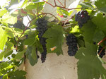 Hausreben/grapes at the house