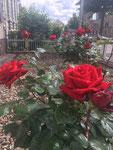 rot Rosen im Vorgarten/red roses in front of the house