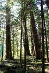 日光の大杉