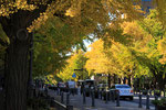 県庁前銀杏並木
