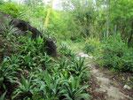 Ein alter Pfad der Tayrona Indios im Reservat.