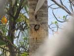 Melanerpes rubricapillus, der Rotkappenspecht