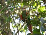 ein Santa-Marta-Rotschwanzsitich, endemisch und vom Aussterben bedroht