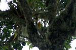 Pheucticus chrysogaster, der Gelbbauchkernknacker