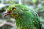 Pipreola aureopectus, der Goldbauchschmuckvogel